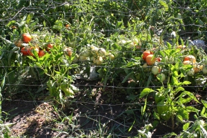 Heirloom (non-GMO) tomatoes and peppers in our organic garden